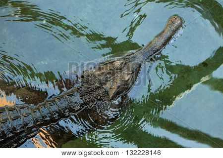 False gharial (Tomistoma schlegelii), also known as the tomistoma. Wild life animal.