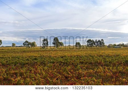View of vineyard in the morning. These wine grapes are growing on limestone coast in Coonawarra winery region during Autumn in South Australia