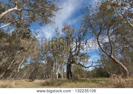 Branches of big gum trees, Eucalyptus, against blue sky at Naracoorte forest during Autumn season in South Australia