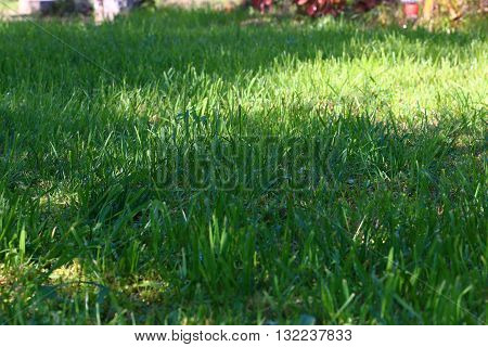 beautiful fresh green grass on a sunny lawn