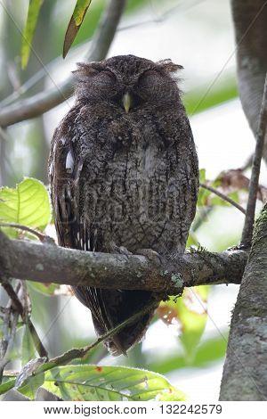 Choco Screech Owl Sleeping On A Perch - Panama