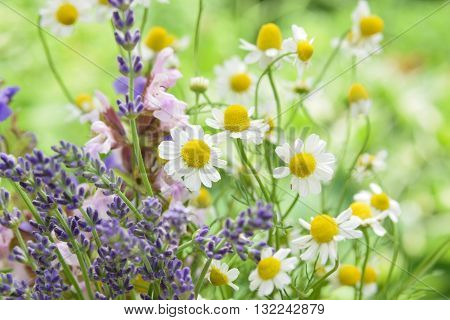 cut fresh chamomile,lavender and sage flowers in garden