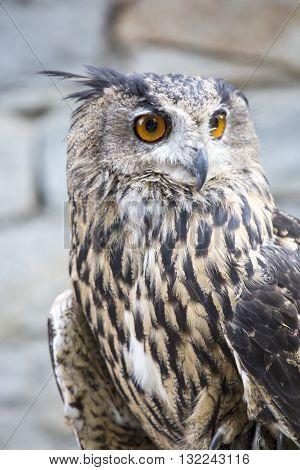 Portrait Of An Eurasian Eagle-owl