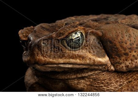 Closeup Cane Toad - Bufo marinus giant neotropical or marine toad Isolated on Black Background