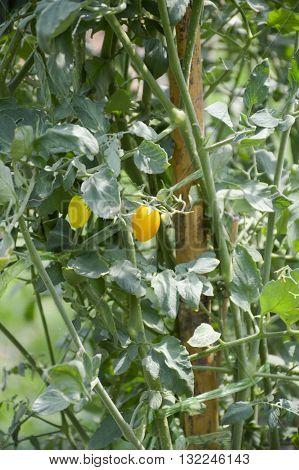 fresh Solanum lycopersicum tree in vegetable garden