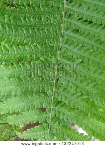 natural green leaf of fem texture closeup