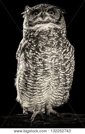 owl rapacious bird black and white portrait