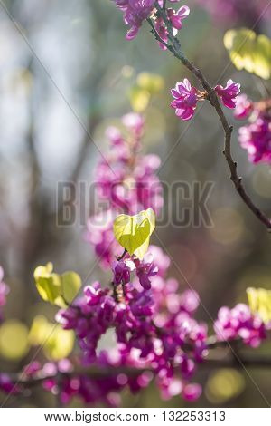Cercis European flowers colorful spring botanical background