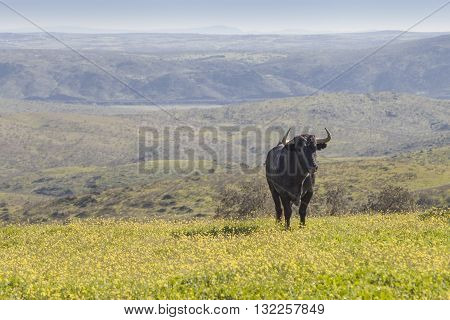 Magnificent spanish bulls alone in the field