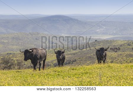 Magnificent spanish bulls in the field. Meadow landscape