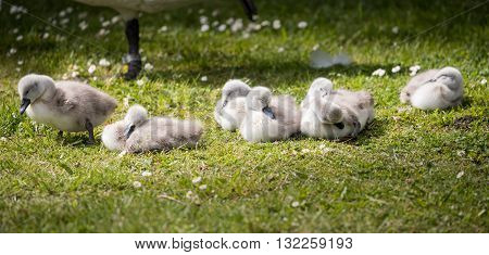 seven cygnets on edge of lake sleeping in the sunshine