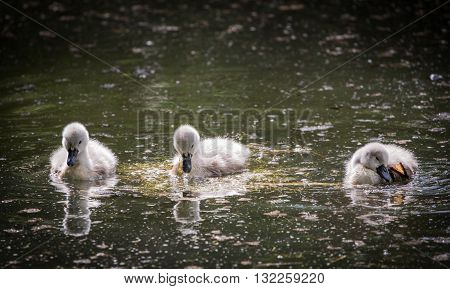 Three cygnets on river with reflection,swimming and scratching