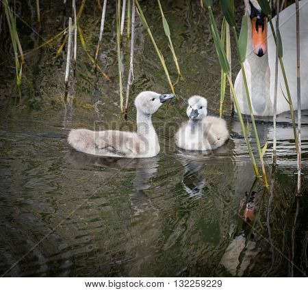 Two cygnets with adult swan keeping watch