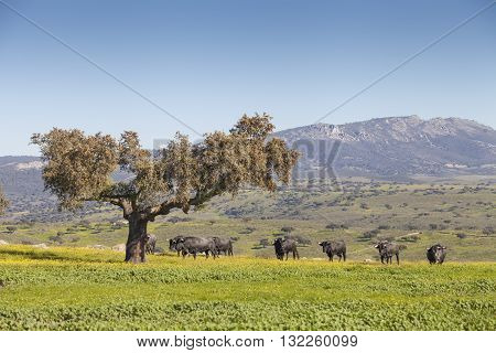 Magnificent spanish bulls in the field and holm oak. Meadow landscape
