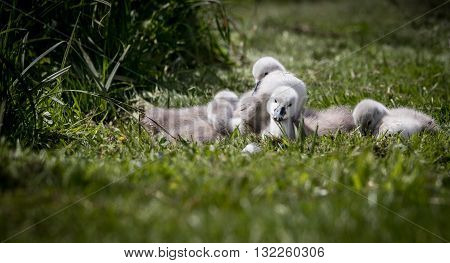 Bundle of cygnets sat on grass at lake edge enjoying the sunshine