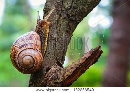 Snail on the tree in the garden. Snail gliding on the wet wooden texture. Macro close-up blurred green background. Short depth of focus. Latin name: Arianta arbustorum.