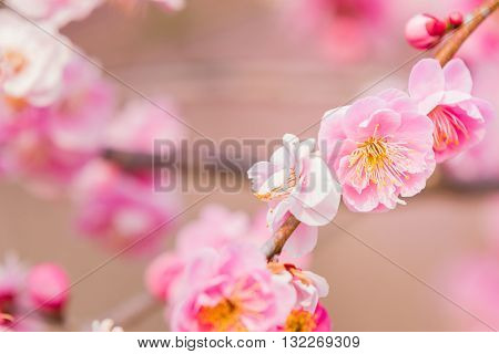 Pink Flower Ume Blossoms.