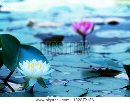Lotus flower blooming on a tranquil pond in blue morning light. White lotus flower and pink lotus flower behind. Shallow depth of field for dreamy feel.