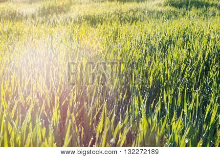 Close up of fresh thick grass with water drops in the early morning with sunbeams.