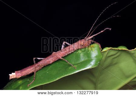 Stick Insect (Neoclides sp) from Kinabalu National Park.