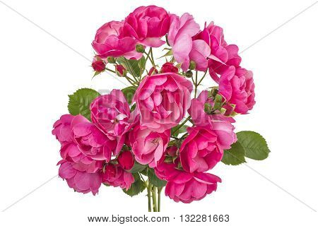 Bunch of pink wild rose flowers isolated on white