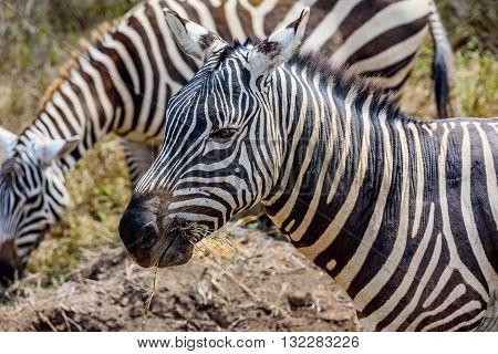 Profile of a beautiful Grevy Zebra in Kenya Africa