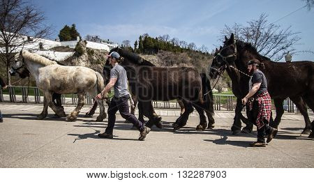 Mackinaw Island, Michigan, USA - May 6, 2016: Draft horses return to Mackinaw Island as the tourist season begins. The island bans autos. Draft horses are utilized to transport goods and tourists.