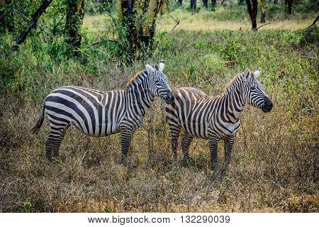 Grevy Zebra in   Masai Mara Game park in Kenya Africa