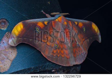 Antheraea broschi (Saturniidae) moth from Kinabalu National Park.