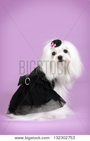 a cute dog Maltese in black glamorous outfit Flirty looks on a purple background