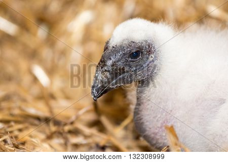 Yurkey Vulture Chick In Nesting Site