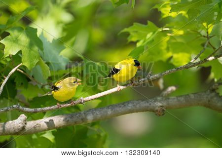 Female And Male American Goldfinch