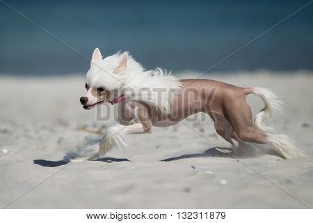 Chinese Crested Dog Running Outdoors In Nature