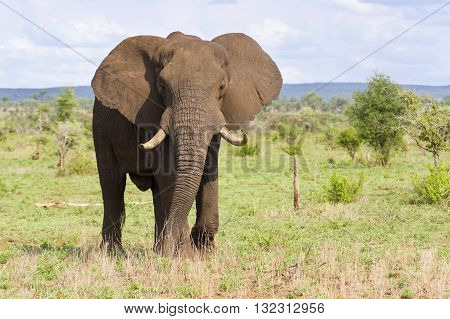 Big elephant bull with large tusks approaching over a savannah plain poster