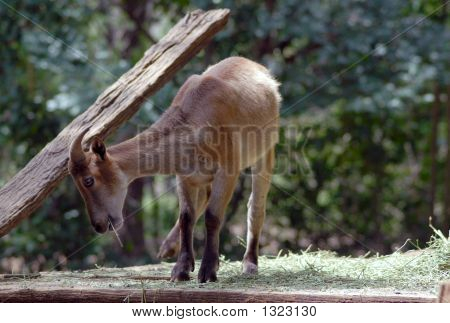 Tahr Having A Scratch