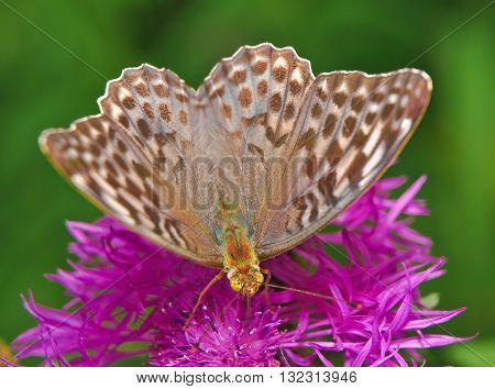 Butterfly large forest fritillary (Argynnis paphia) - female on a flower of cornflower meadow