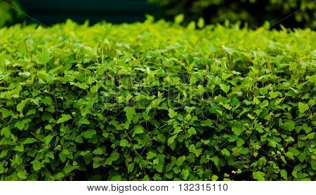 Green hedge or green leaves wall in park or forest. Tall hedge, endless seamless pattern, tall hedge with grass.