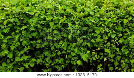Closeup picture of wall from green leaves or green bushes. Green box hedge background with green leaves.