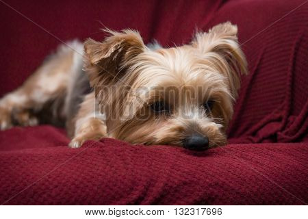 Portrait yorkshire terrier or yorkie relaxing on red couch