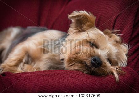 Portrait yorkshire terrier or yorkie sleeping on red couch