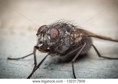 Extreme close up macro house fly insect background