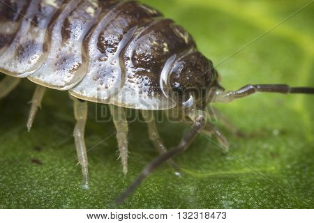 Purple Roly Poly pill bug on green rock in macro close up photo