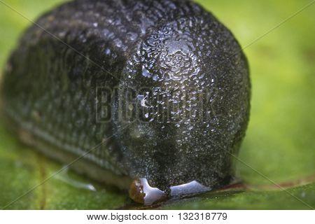 Common garden slug slithers along mossy bark in close up macro photo