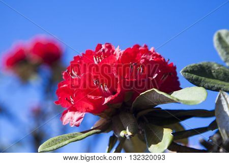 Rhododendron arboreum looks red flowers. Flowering from January to May But the flowers are in full bloom in late February. Species in the Doi Inthanon. Chiangmai Thailand
