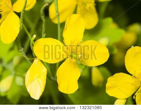 Flowers of greater celandine or tetterwort Chelidonium majus macro selective focus shallow DOF