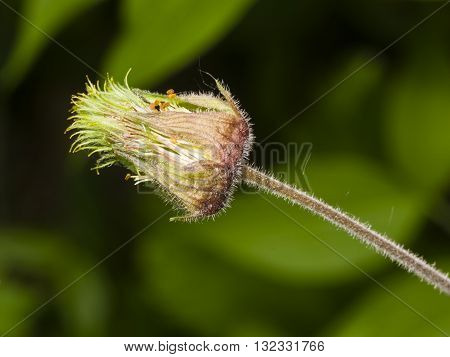 Water avens geum rivale flower macro on a blurred background selective focus shallow DOF