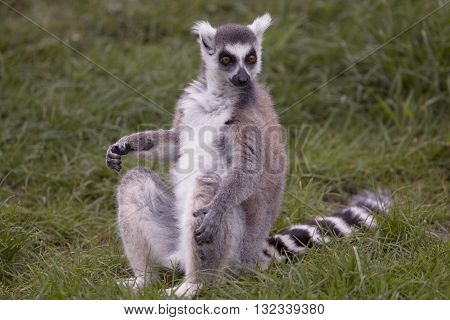 A lemur sitting in grass and staring