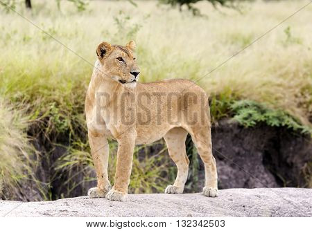 Lovely lioness gracefully standing on a rock in a park Tarangire, Tanzania poster