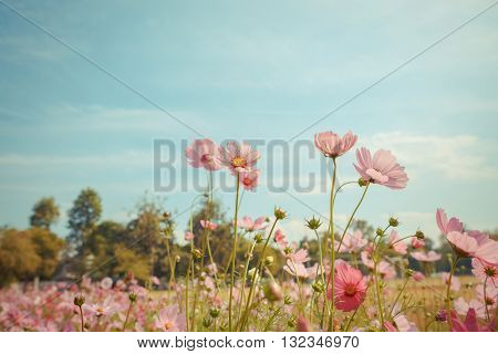 Photo of Cosmos flower blossom in garden poster