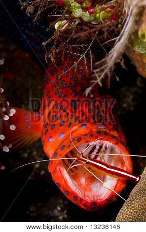 poster of Leopard coralgrouper (Plectropomus leopardus) hiding in a coral reef with a cleaner shrimp in its mouth. Taken at Tulumben Bali Indonesia.